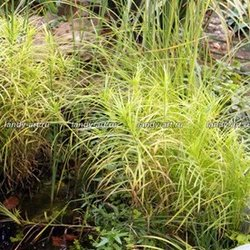 "Осока пальмовая ""Aureovariegata"" - Carex muskingumensis ""Aureovariegata"""